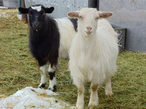 Fainting For Sale by Fainting Goats For Sale