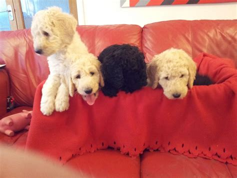 standard poodle puppies for sale in standard poodle puppies for sale burnley lancashire pets4homes