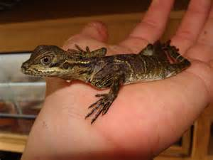 For sale amp live animal courier direct to your door page 2 reptile