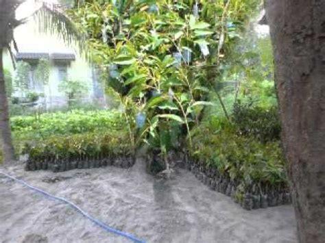Jual Bibit Lele Di Nganjuk jual bibit durian di nganjuk hub 08121605732