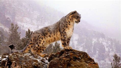 s leopard snow leopards the beautiful cats threatened for
