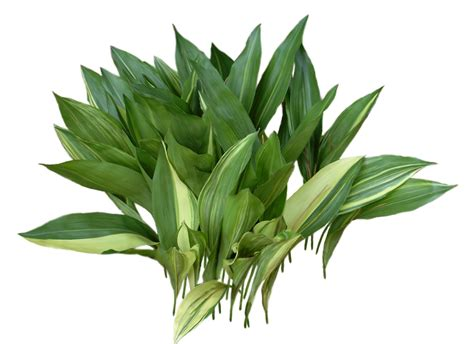 Aspidistra Elatior aspidistra cast iron related keywords aspidistra cast