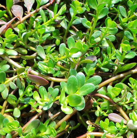 where to buy herb plants brahmi plant bacopa monnieri woodvale fish lily farm