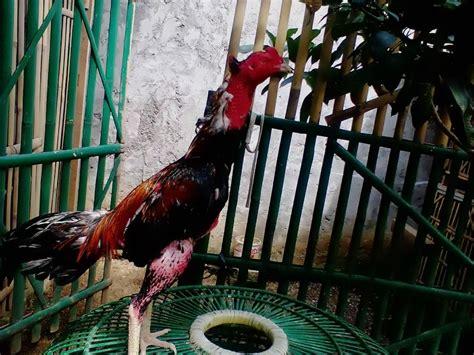 gambar ayam bangkok aduan si kuncung