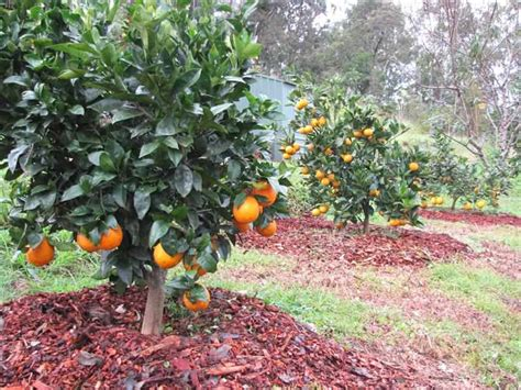 citrus fruit trees how to mulch citrus trees and tropical fruit trees wa