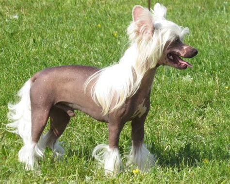 ugliest breed 1000 ideas about ugliest breed on breeds ugliest and