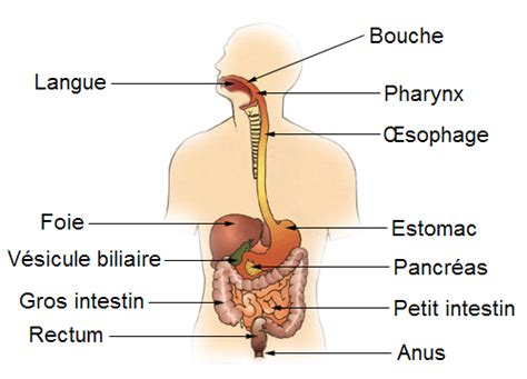 schematic layout en francais file diagram of the digestive system fr png wikimedia