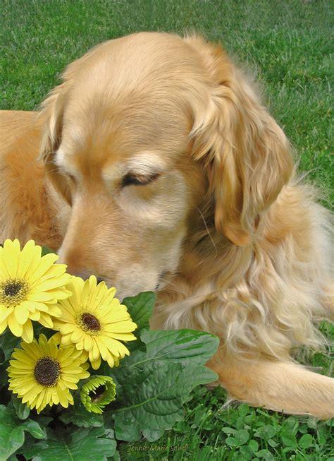smelly golden retriever golden retriever smell the flowers photograph by jennie schell