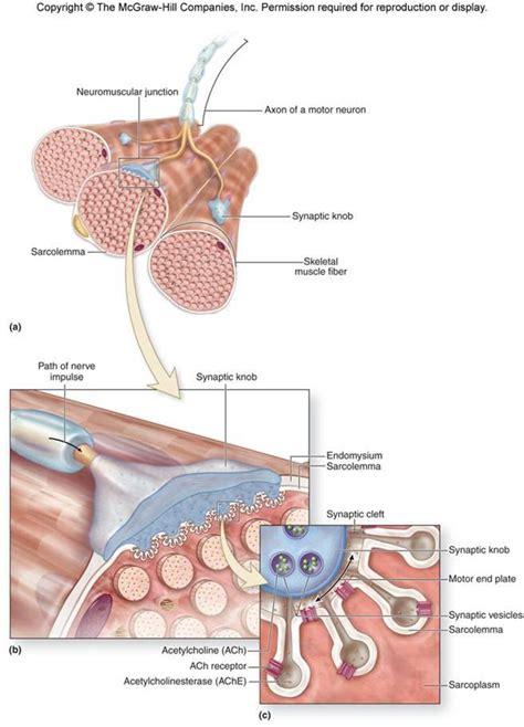 diagram synaptic knob diagram free engine image for user