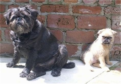 brussel griffon pug mix brug breed information and pictures