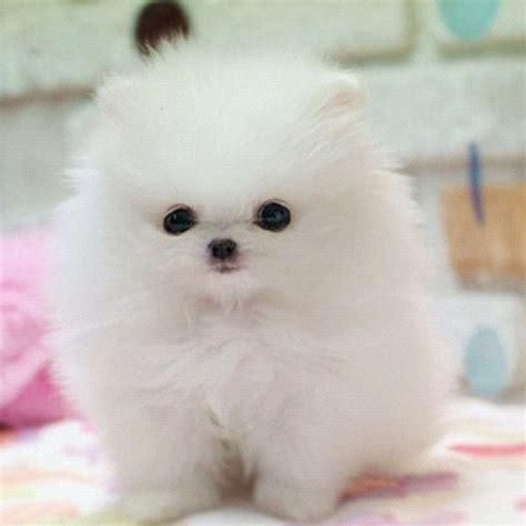 pomeranian baby baby pom for