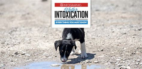 water intoxication dogs water intoxication in dogs prevention and treatments infographic