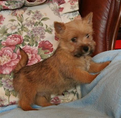 norwich terrier puppy norwich terrier puppy taunton somerset pets4homes