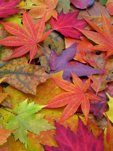 colorful autumn leaves pictures   images