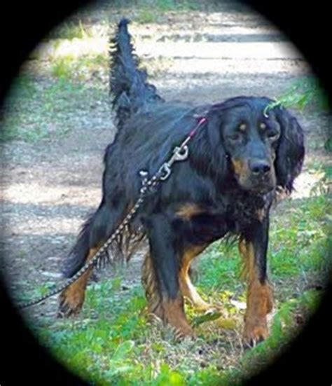 gordon setter hunting dogs for sale gordon setter crossing gordon setter puppies for sale