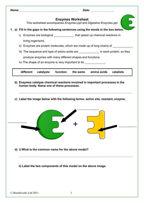 Enzyme Worksheet by Enzymes Worksheet Wiildcreative