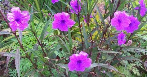 jualan benih tanaman semua menjadi pokok bunga mexican