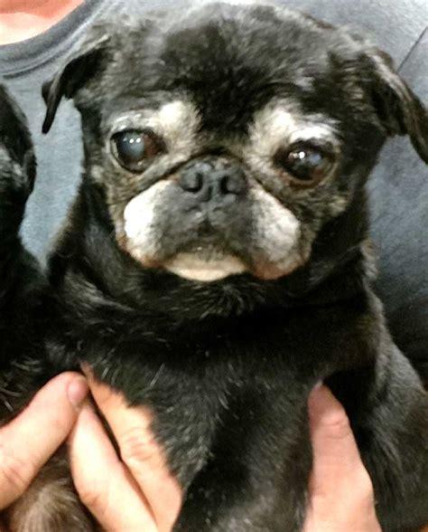 pugs available pugs available for adoption pug partners of nebraska