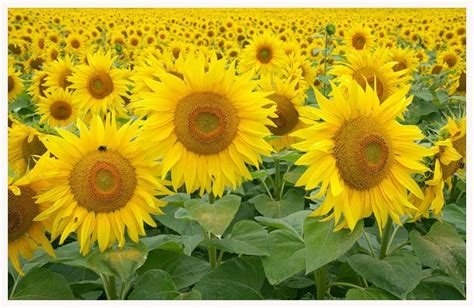 sun flower garden sunflower garden pixdaus