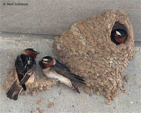 mud nest on side of house cliff swallows