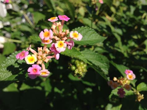 is lantana poisonous to dogs plants poisonous to pets 187 gardening in the panhandle