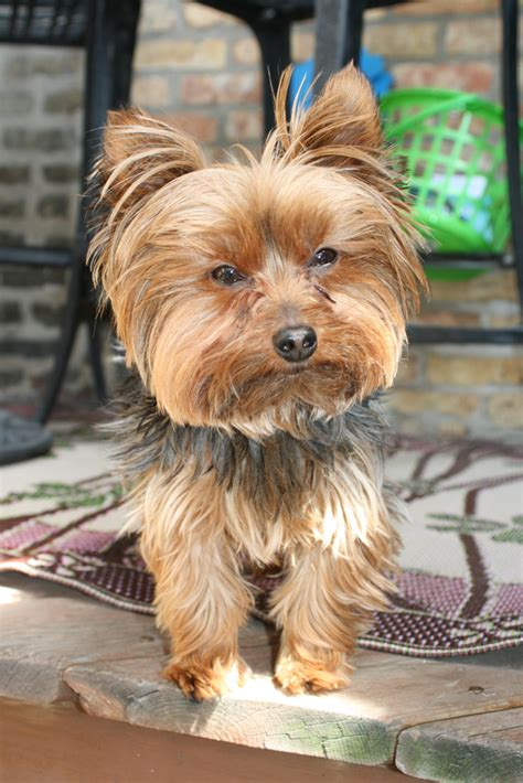 mini yorki happy friday yorkie breeds picture