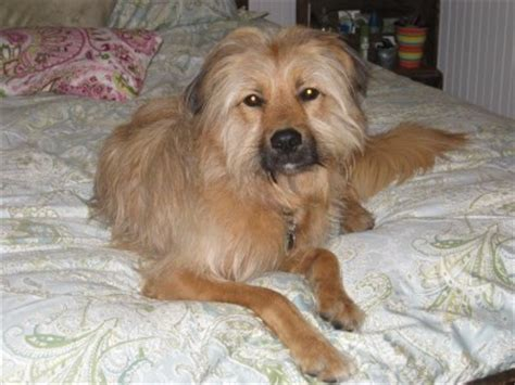 border terrier golden retriever mix what breed is my golden retriever mix thriftyfun
