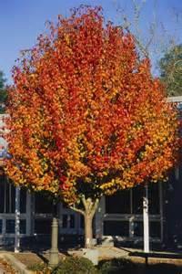 Ornamental pear tree pyrus calleryana aristocrat pear tree blerick