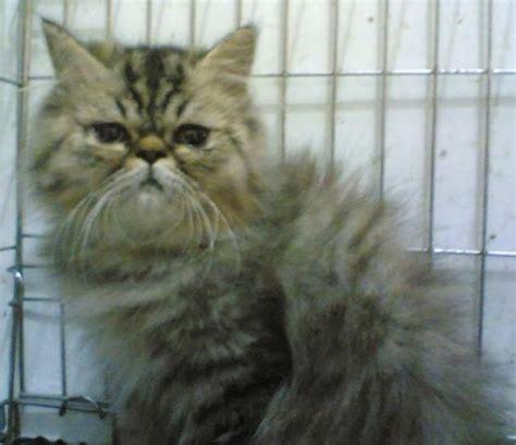 Sho Kucing Anggora pet shop kucing pignose
