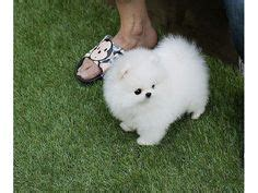 shunsuke pomeranian for sale 1000 ideas about pomeranian puppies for sale on pomeranian puppy teacup
