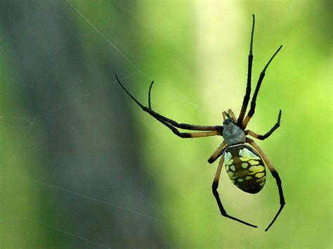 Black And Yellow Garden Spider by Black And Yellow Garden Spider Dfw Wildlife