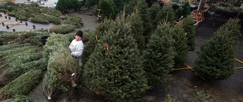 catchy collections of looking after christmas trees