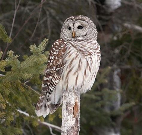 owls are amazing wisconsin dnr