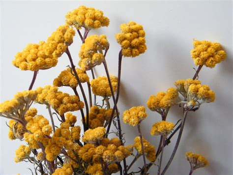 Dried Flowers by Dried Flower Bunch Yellow Ageratum Dried Flowers Shop