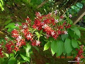 List Of Climbing Plants - double rangoon creeper kop s nursery