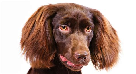 boykin spaniel puppies boykin spaniel breed information american kennel club