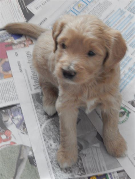 goldendoodle puppies for sale in maine available puppies goldendoodles of maine