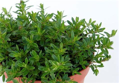 piante aromatiche in giardino timo piante da giardino tymus vulgaris