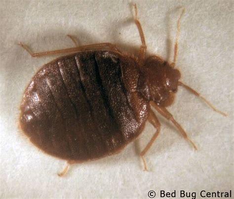 bed bugs 101 identification bedbug central