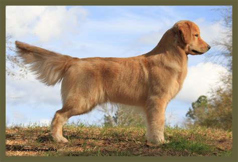 gemini golden retrievers puppy cannon from gemini golden retrievers of rockledge florida