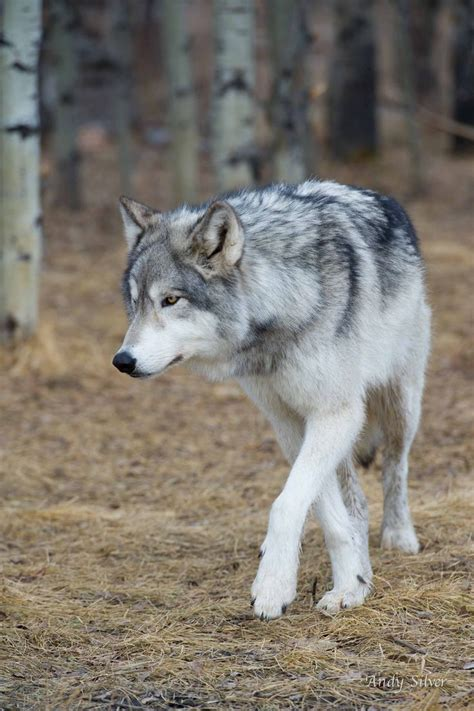 Silver Wolf best 25 gray wolf ideas on wolf howl sound