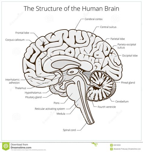 brain sections diagram brain human structure photos structure of human brain