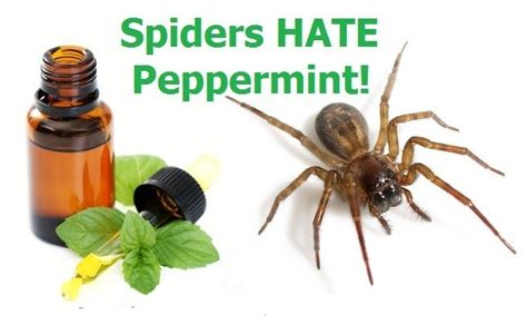 how to keep bugs out of your room how to keep spiders out of your home with peppermint