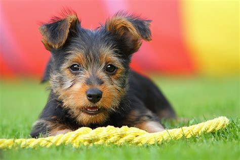 australian terrier puppies australian terrier puppies doglers