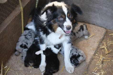 mini aussie puppies oregon mini australian shepherd puppies oregon breeds picture