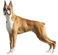 pitbull and rottweiler comparison compare boxer vs rottweiler difference between boxer and rottweiler