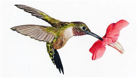 hummingbird sounds hummingbirds plus