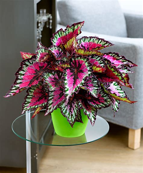 buy house plants uk buy house plants now leafy begonia caracas bakker com