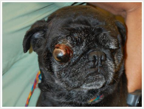 pug popping out i m the grinch who stole p shifting so you think pugs are
