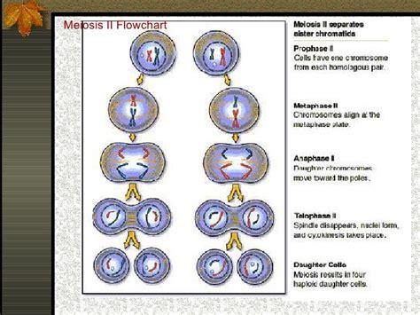 mitosis flowchart meiosis